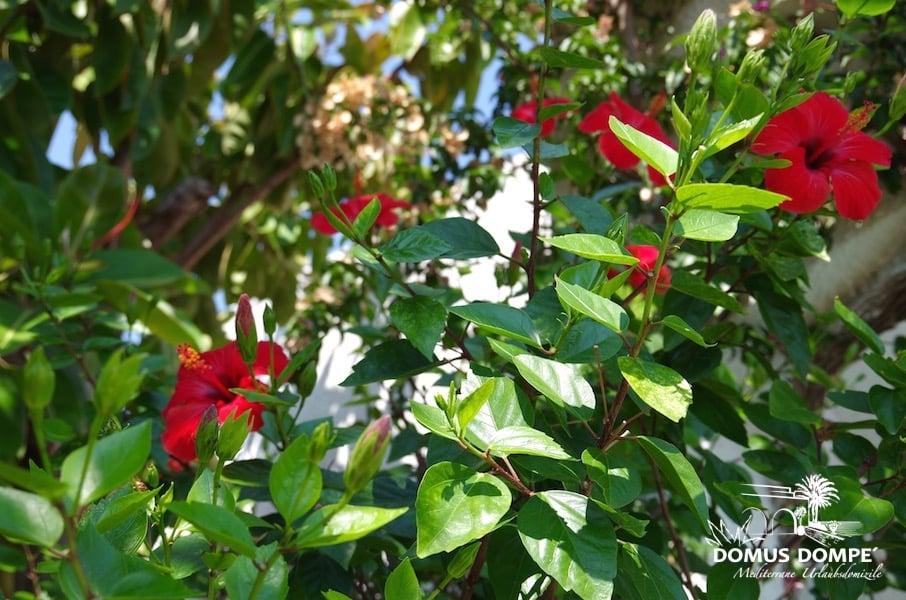 hibiskus im garten hibiskus im garten tipps zu sorten pflege r ckschnitt hibiskus im garten. Black Bedroom Furniture Sets. Home Design Ideas